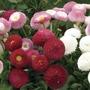 Bellis Belle 100 Plants + 60 FREE