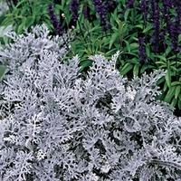 Cineraria Silver Dust 50 Plants + 20 FREE