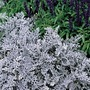 Cineraria Silver Dust 50 Plants + 20 FREE