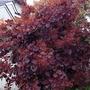 Cotinus coggygria Royal Purple (Smoke Bush) 1 Plant 3 Litre