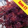 Cotinus coggygria Royal Purple (Smoke Bush) 2 Plants