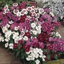 Dianthus Gem 100 Plants + 60 FREE