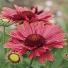 Gaillardia Arizona Red 12 Jumbo Ready Plants