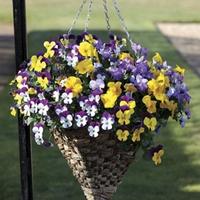 Pansy Cascadia (Trailing) 100 Plants + 60 FREE