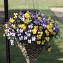 Pansy Cascadia (Trailing) 100 Plants + 60 FREE