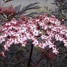 Sambucus nigra Black Lace 1 Plant 3 Litre