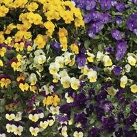 Viola Ochre (Trailing) 100 Plants + 60 FREE
