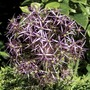 Allium star of Persia (Allium Christophii) 15 Bulbs