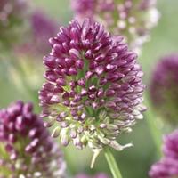 Allium Drumsticks (Allium sphaerocephelon) 25 Bulbs