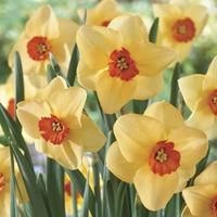Daffodil Altruist 15 Bulbs