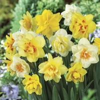 Daffodil Double Mix 15 Bulbs