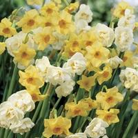Daffodil Mix (Scented) 15 Bulbs