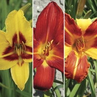 Day Lilies (Hemerocallis) Collection of 6 Rhizomes