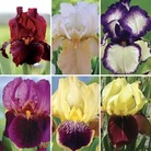 Bearded Iris (Iris Germanica) Collection of 6 Rhizomes