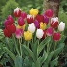 Tulip Triumph Mix 15 Bulbs