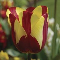 Tulip Helmar 15 Bulbs