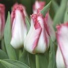 Tulip Lingerie 15 Bulbs