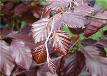 Fagus sylvatica Atropurpurea Group - Bare Root Hedging
