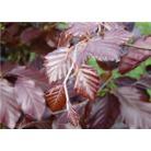 Fagus sylvatica Atropurpurea Group - Bare Root Hedging