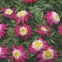 Tanacetum 'Garden Treasure' 3 plants in 7cm pots