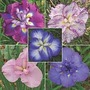 Iris Ensata Collection 5 bareroot plants - 1 of each variety
