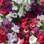 Penstemon Wedding Bells Mixed 6 plants in 5cm pots