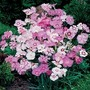Dianthus Plumarius Sweetness Mixed 1 packet (50 seeds)