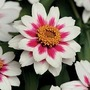 Zinnia Marylandica Zahara Starlight Rose 1 packet (15 seeds)