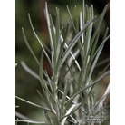 HELICHRYSUM italicum subsp. serotinum