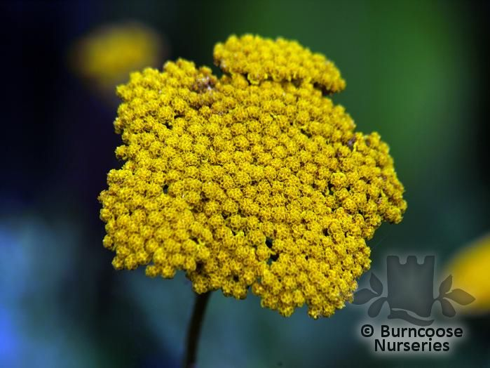 ACHILLEA 'Cloth of Gold'