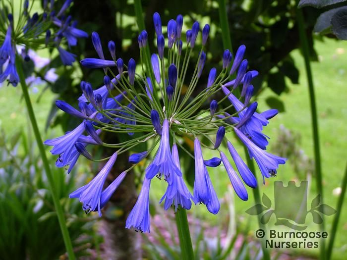 AGAPANTHUS umbellatus 'Blue Giant'