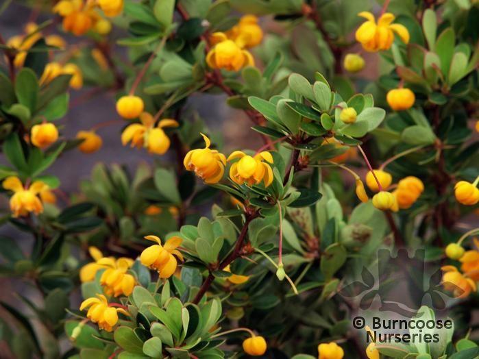 berberis buxifolia 39 pygmaea 39. Black Bedroom Furniture Sets. Home Design Ideas