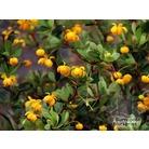 BERBERIS buxifolia 'Pygmaea'