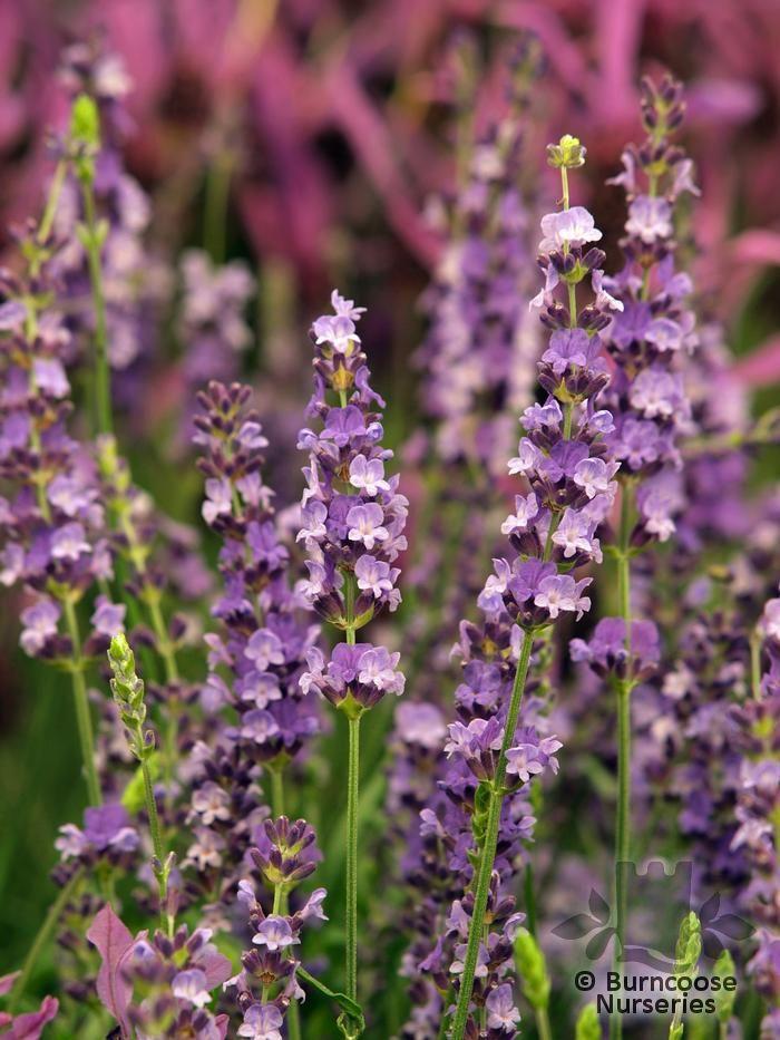 LAVANDULA angustifolia 'Twickel Purple'