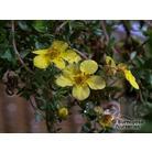 POTENTILLA fruticosa 'Elizabeth'
