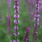 Salvia nemorosa 'Amethyst' (Balkan clary)