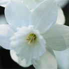 Narcissus 'Niveth' (triandrus daffodil bulbs)