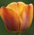 Tulipa 'Cairo' (PBR) (triumph tulip)